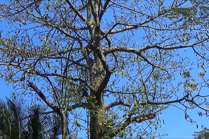 Dlium Kapok (Ceiba pentandra)