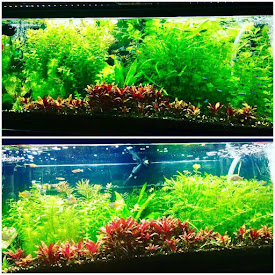 Planted freshwater aquarium with LED lighting, NilocG EI ferts