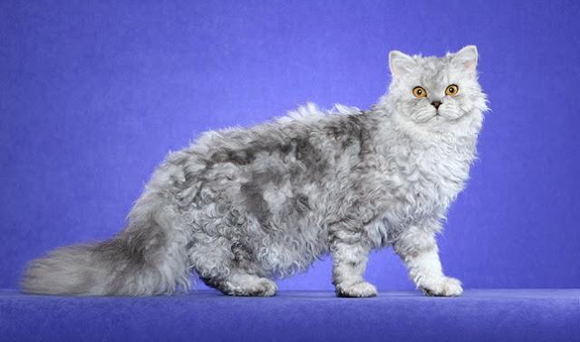 Selkirk Rex adalah salah satu kucing termahal di dunia