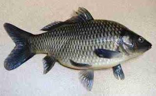 4 resep ampuh untuk memancing ikan tombro agar mancing sukses