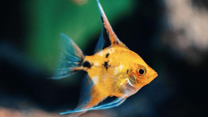 angelfish natural habitat