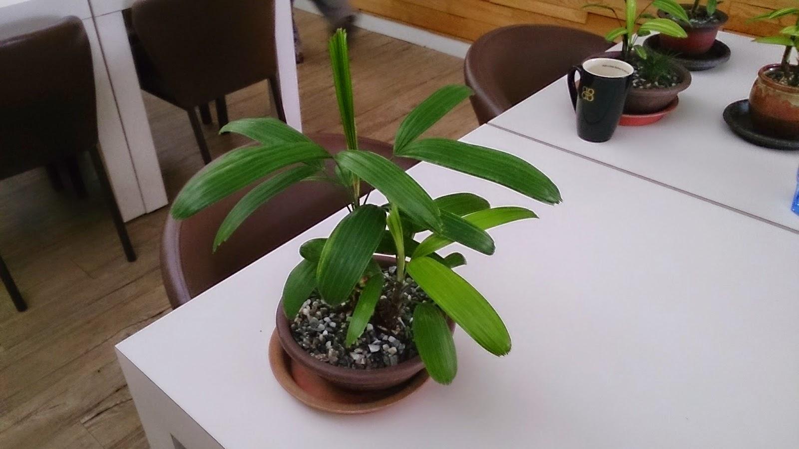 鹽與光網訊: 推薦 棕竹盆栽