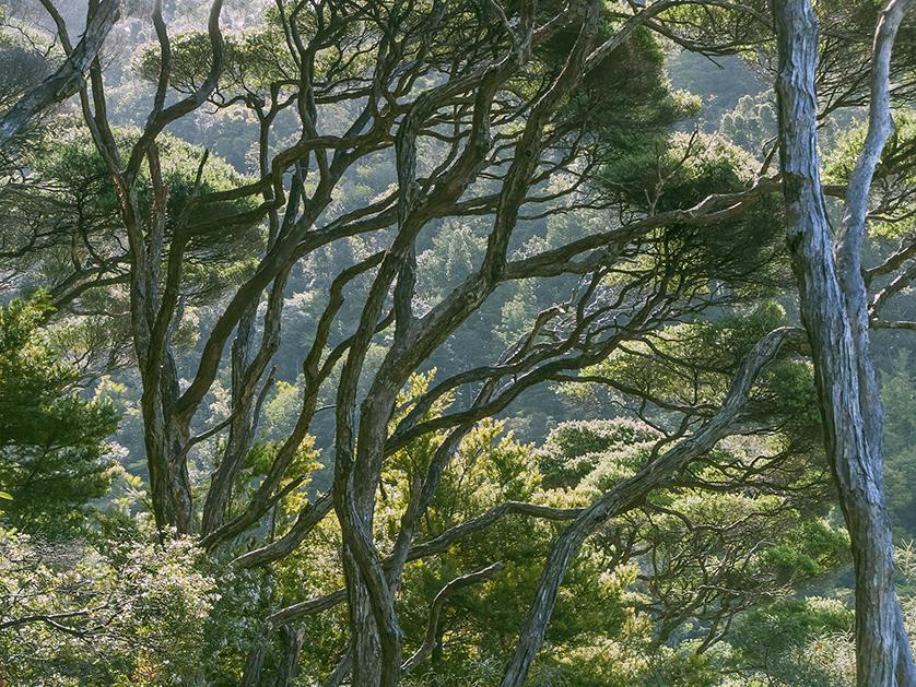 Árvores Manuka nas florestas da Nova Zelândia