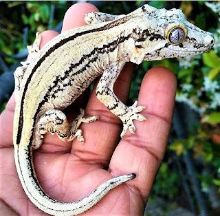 gecko gargula terrario