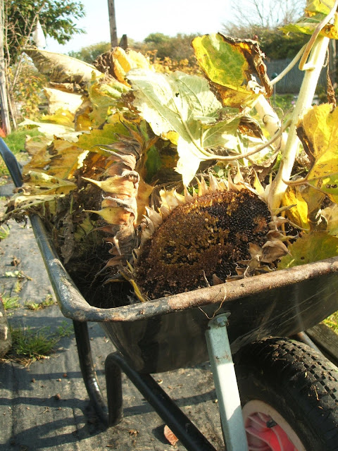 November on the allotment: sunshine, sunflowers, wheelbarrow, weeding, plot, gardening
