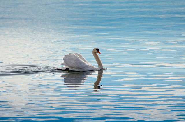 Swan in Ohrid Lake