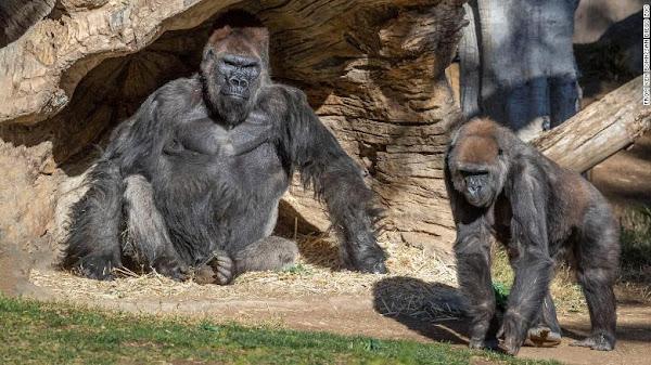 San Diego Zoo Gorillas