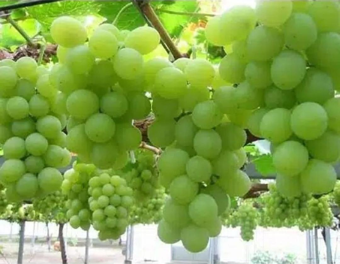 Viral! Bibit buah anggur hijau lokal BISA COD Kota Bandung #bibit buah buahan