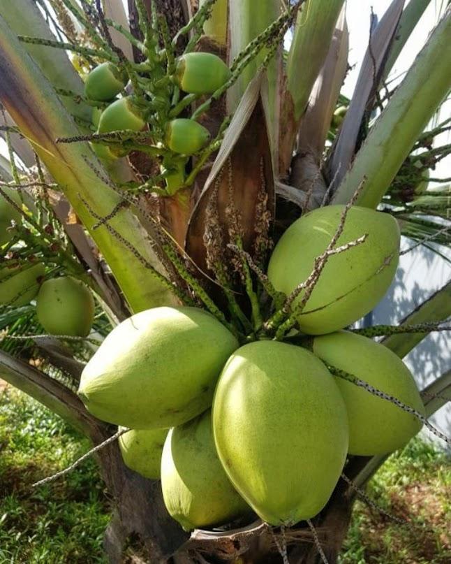 bibit kelapa hibrida super genjah Sulawesi Tenggara