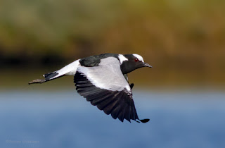 Blacksmith Plover in Flight - Woodbridge Island / Cape Town