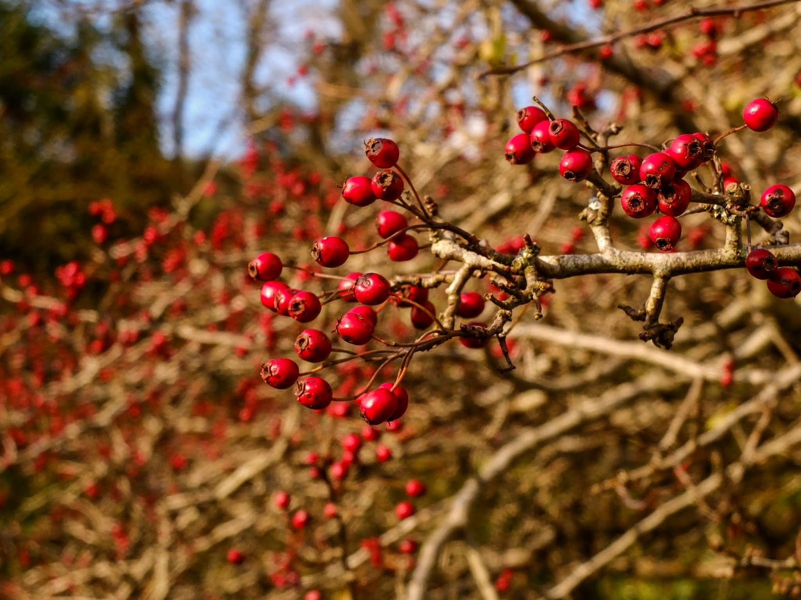Red berries on tree branches in sunlight.