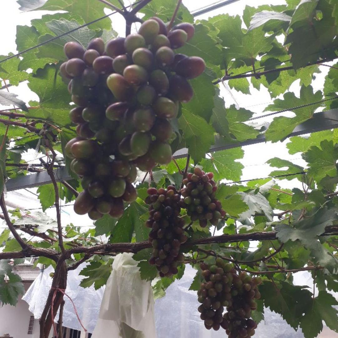 Borong Segera! bibit buah anggur beuty krosotka asli valid Kota Malang #bibit buah buahan