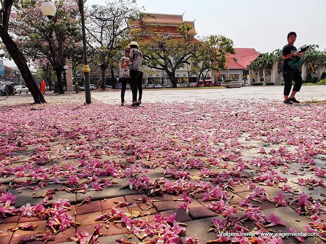 Ipês em Chiang Mai - disfarçando o calor com belas visões. Lembrança da UNICAMP...
