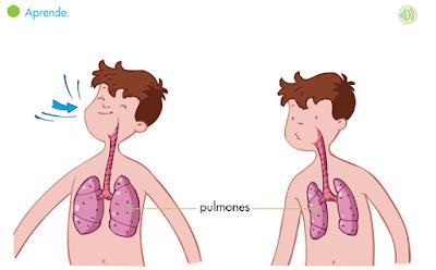 http://primerodecarlos.com/SEGUNDO_PRIMARIA/septiembre/unidad_1/pulmones.swf