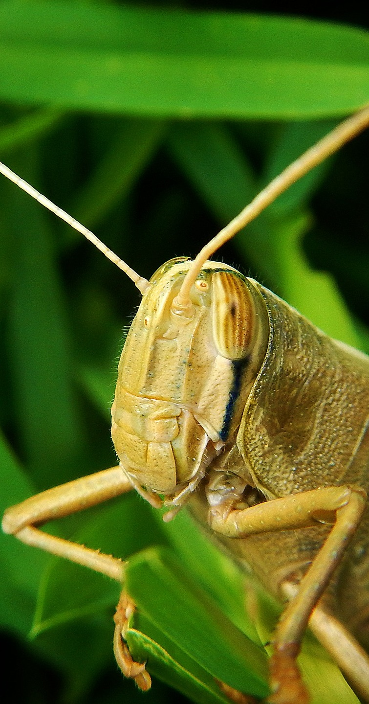 A grasshopper up close.