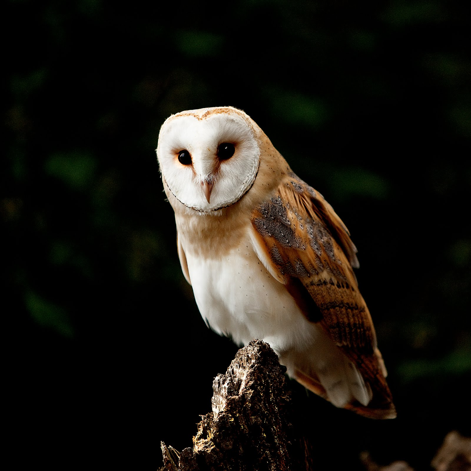 Norfolk Images Gallery: Barn Owl ( Tyto alba )