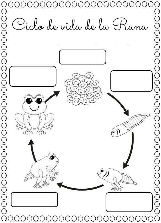 Maestra de Primaria: Ciclo de la rana. Metamorfosis. 2º de Primaria.