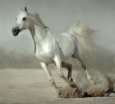 اجمل الصور للخيول العربية الاصيلة