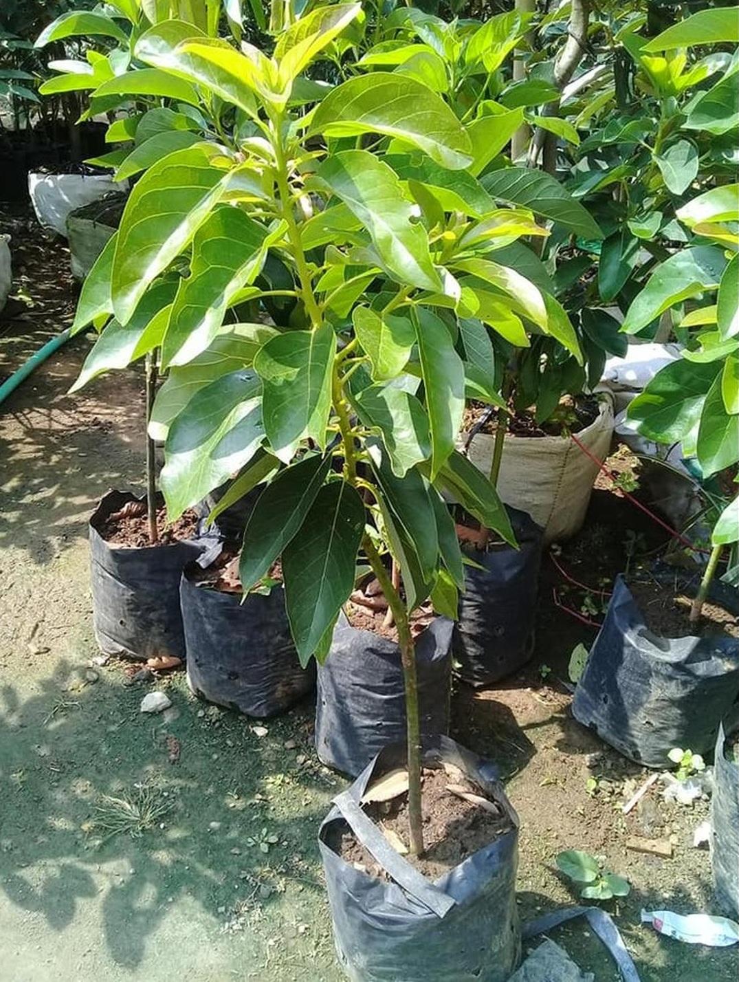 Trend 2021! Bibit tanaman buah alpukat non biji unggul Kota Malang #jual bibit buah genjah