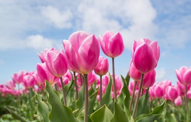 hoa tulip ha lan
