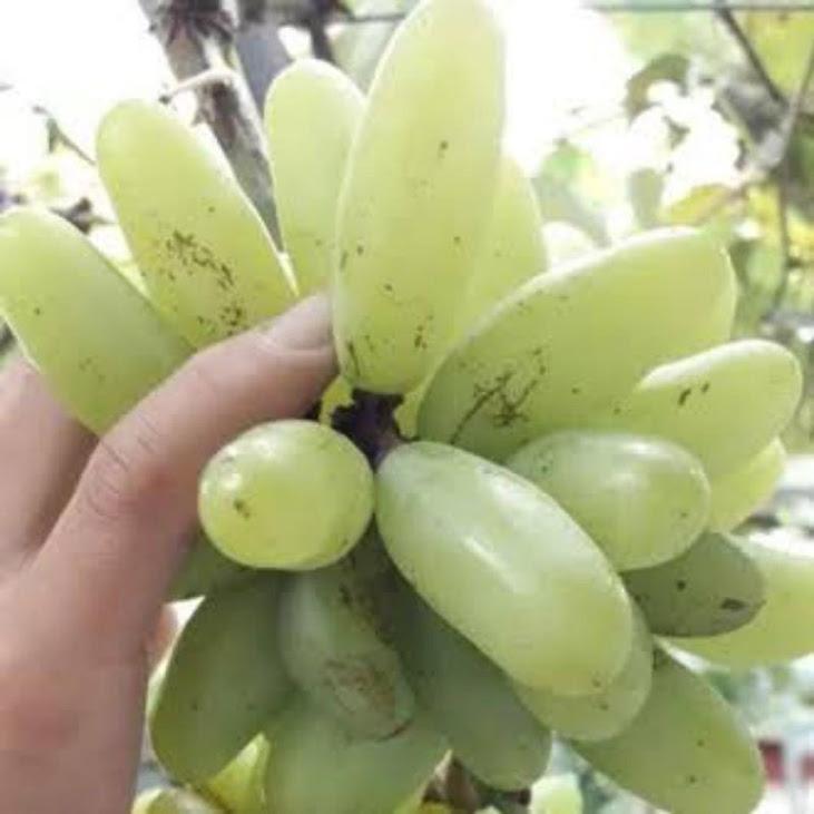 bibit anggur import banana Jakarta