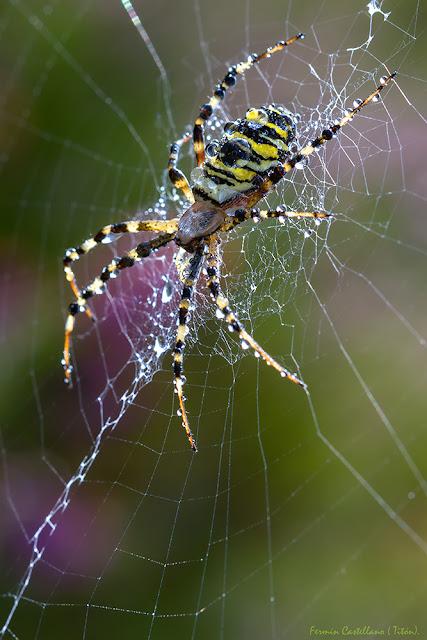 Araña tigre (Argiope bruennichi)