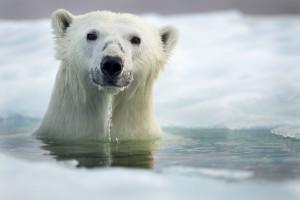 Gambar seekor beruang polar berwarna putih sedang mandi dalam air di kawasan berais
