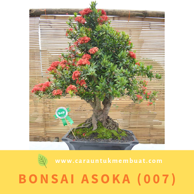 Bonsai Asoka (007)