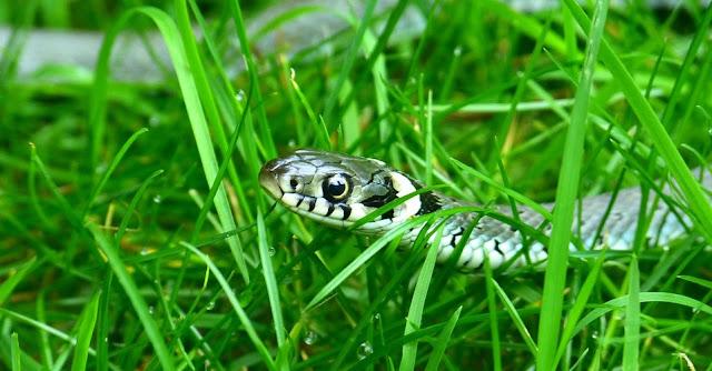 Image: Grass Snake, by Hans Braxmeier on Pixabay