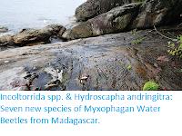 https://sciencythoughts.blogspot.com/2019/08/incoltorrida-spp-hydroscapha.html