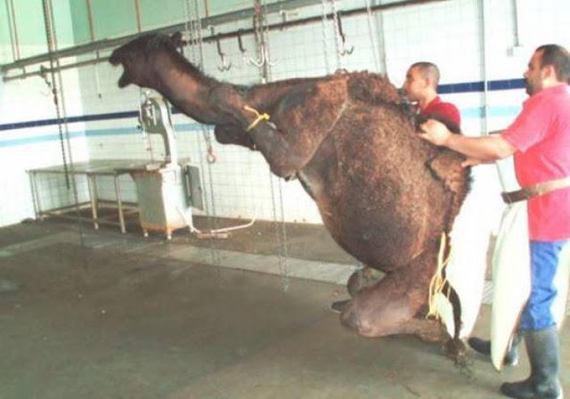 لماذا لحم الجمل يفسد الوضوء؟! تعرف على السبب !!