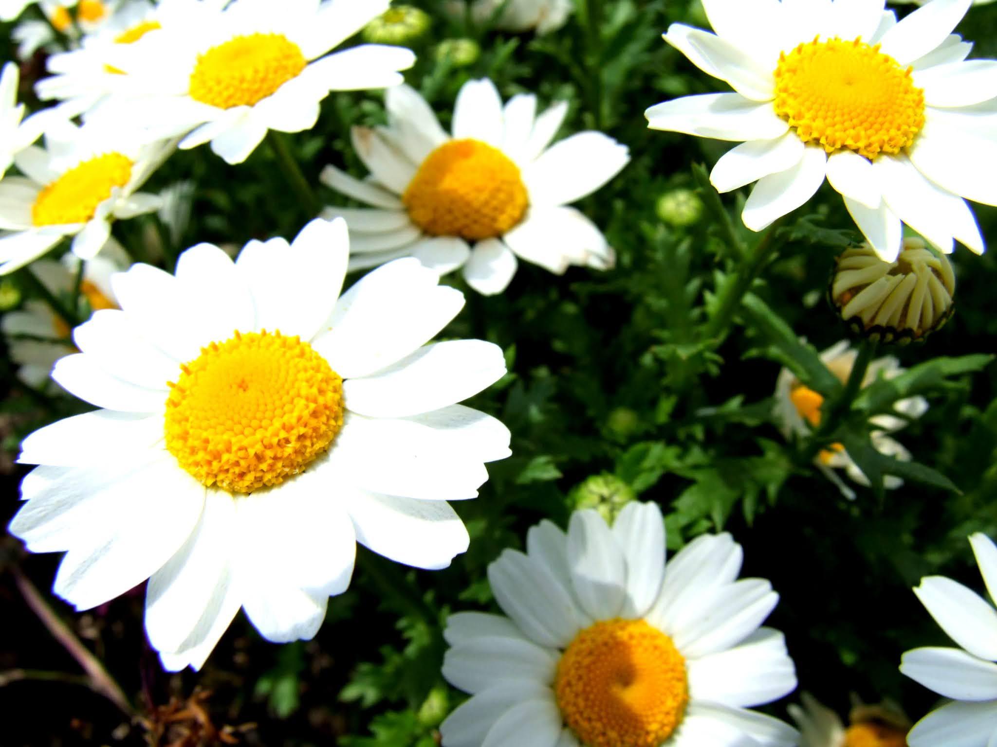 マーガレット(モクシュンギク)の花の写真素材です。白く咲き誇る花弁がキレイですよね。ブログやSNSの画面を華やかにしたい場面でいかがでしょう。