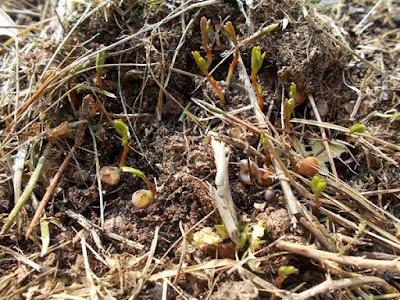 Coltivare i legumi in un orto biologico: le lenticchie