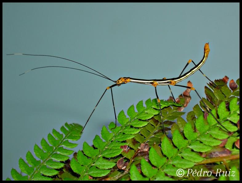 Ninfa macho L4 de oreophoetes peruana, 4 cm de longitud