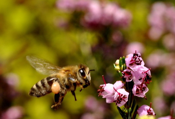 Μέλι απο ρείκι: Το πιο γλυκό όπλο κατά του προστάτη και του κολικού νεφρών