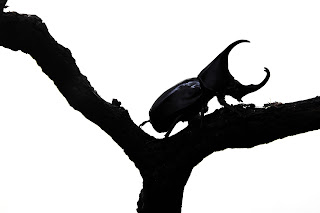 hercules beetle,top 10 insects of the world