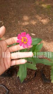 Tanaman hias bunga zinnia (bunga kertas)