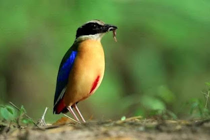 Kenal Lebih Dekat Burung Paok Sayap Biru