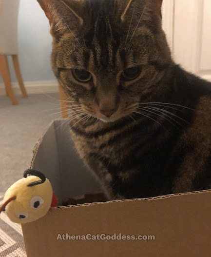 tabby cat in a box
