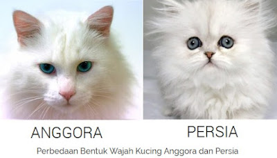 Perbedaan WajahKucing Anggora dan Kucing Persia