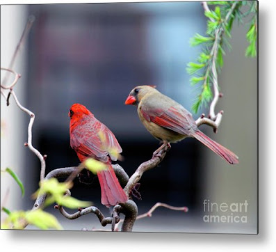 This is a screen shot of a photograph rendered on metal and available via Fine Art America. It features a couple of cardinals perched on a branch. The female (brownish) is on the right while the male (red) is on the left. Info re this print is @ https://fineartamerica.com/featured/cardinal-love-3-patricia-youngquist.html?product=metal-print