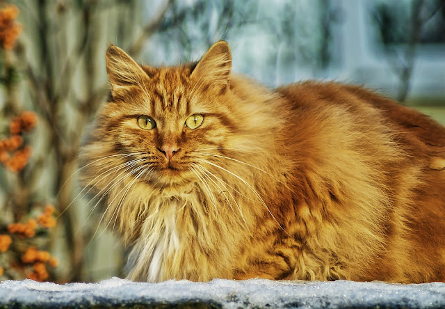 Everything you want to know about Scottish cats, personal characteristics of the breed, diet