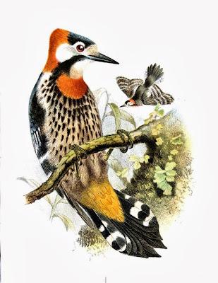 Scarlet breasted Woodpecker