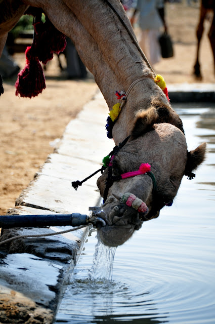 pushkar rajasthan camel fair