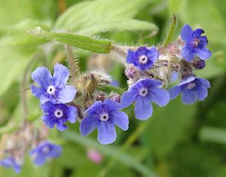 Flores azules de Licópside (Anchusa arvensis)