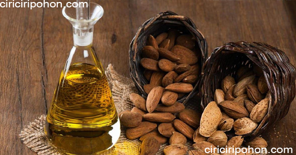 ciri ciri pohon minyak pohon ketapang