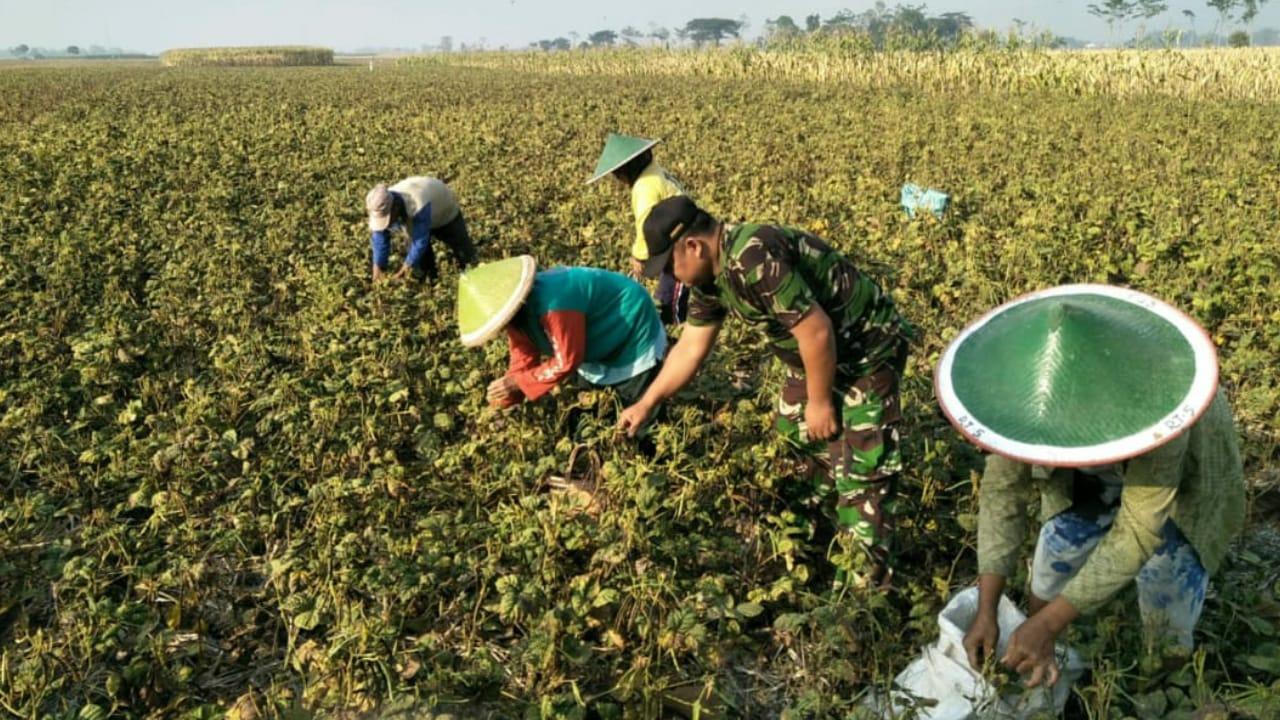Dorong Peningkatan Hasil Palawija, Babinsa Bulu Dampingi Petani Hingga Panen
