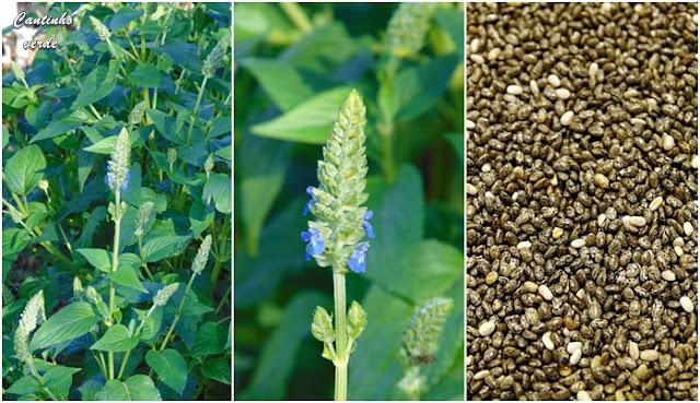 Como cultivar chia - Salvia hispanica