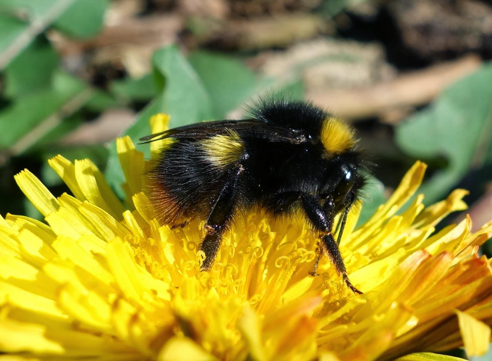 Urban Pollinators: Identifying common bumblebee queens