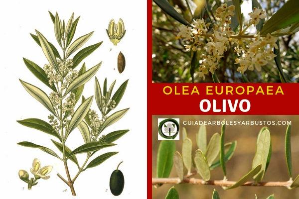 Olea europaea, olivo, árbol de no mucha altura, pero de gran longevidad, de tronco corto y grueso